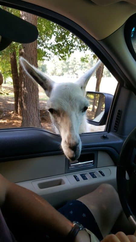 drive-thru safari texas adventure