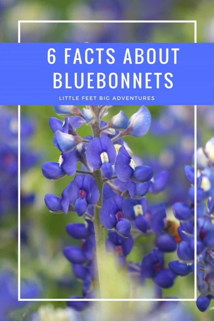 6 bluebonnet flower facts that you might find interesting. The Texas State flower.