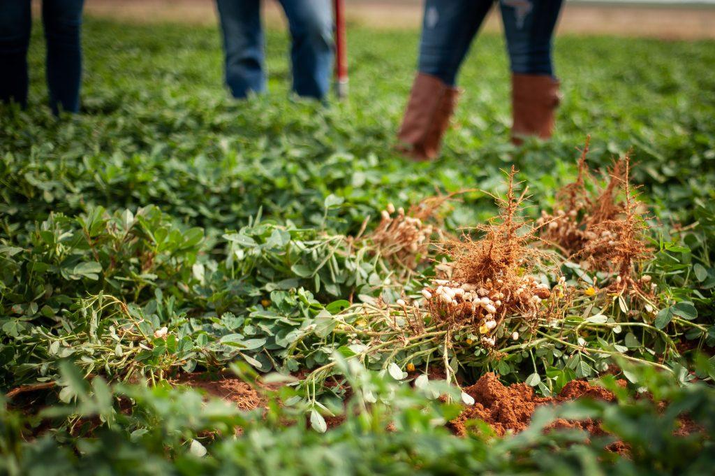 Texas peanut farms and farmers